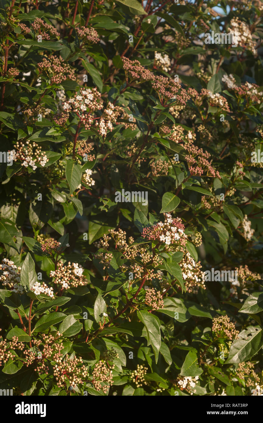 Winter Flowering Viburnum Shrub With Small Delicate Deep Pink Buds