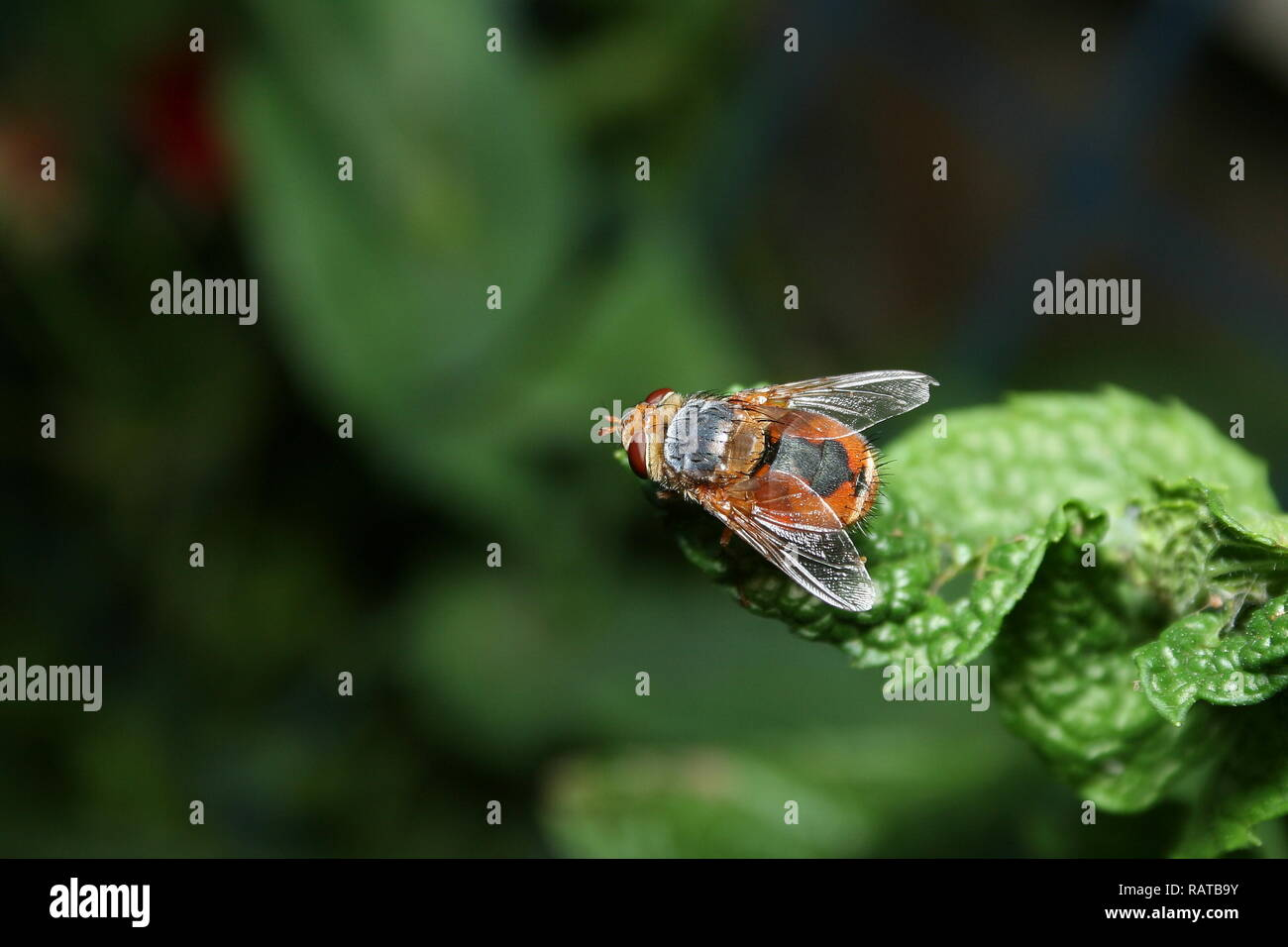 Tachinid Fly perched on a mint leaf Stock Photo