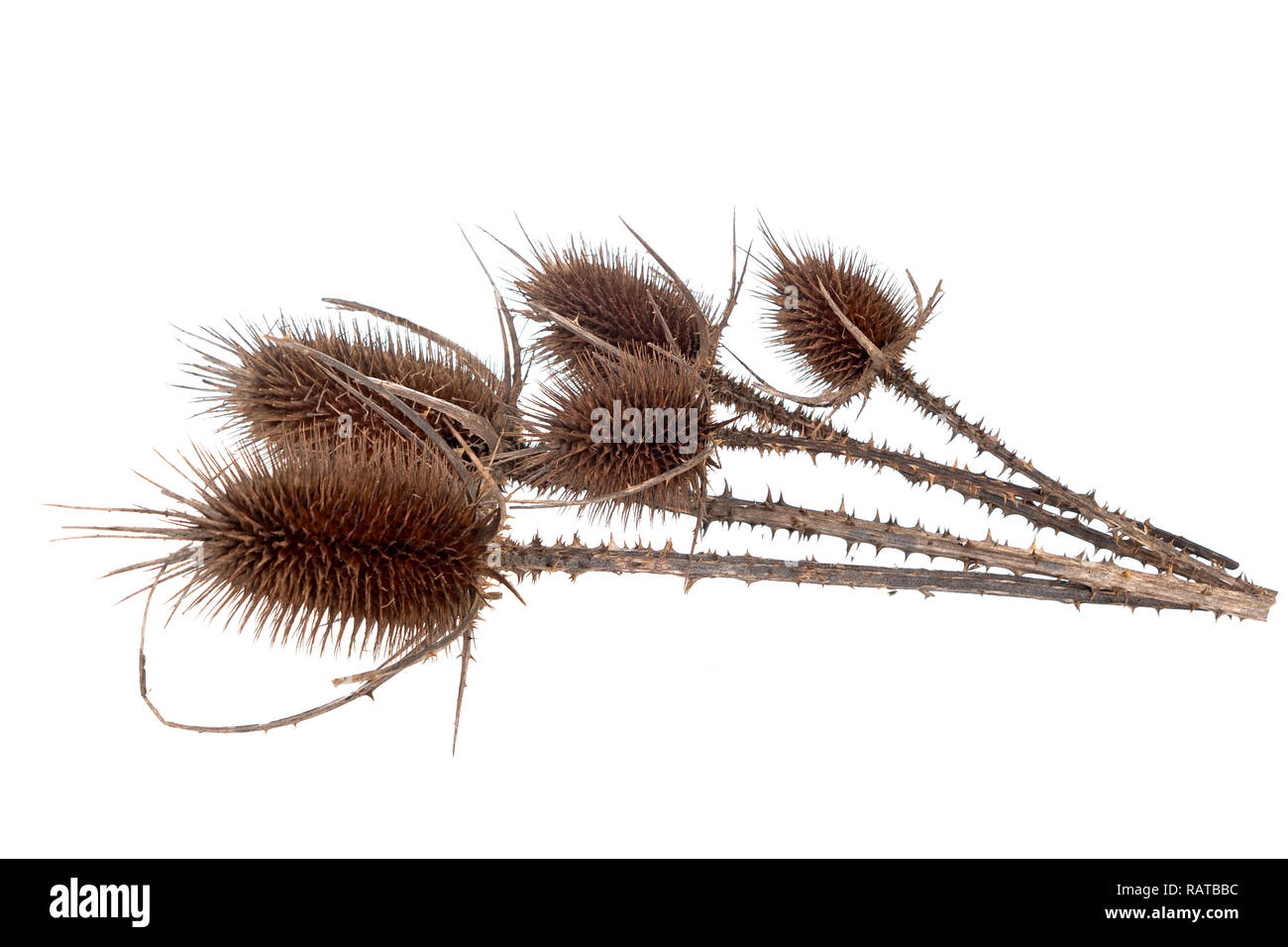 Teasels, teazels. Dipsacus fullonum isolated on white background. - Stock Image
