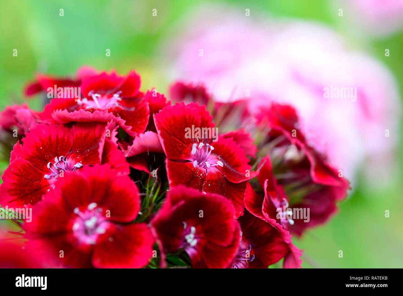 Close up of red sweet William (dianthus barbatus) flowers in the garden - Stock Image