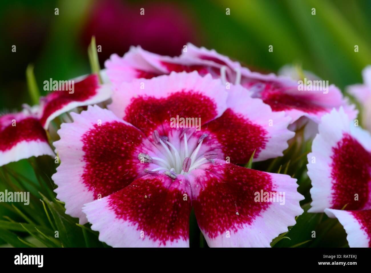Macro shot of a pink and white sweet William (dianthus barbatus) flower - Stock Image