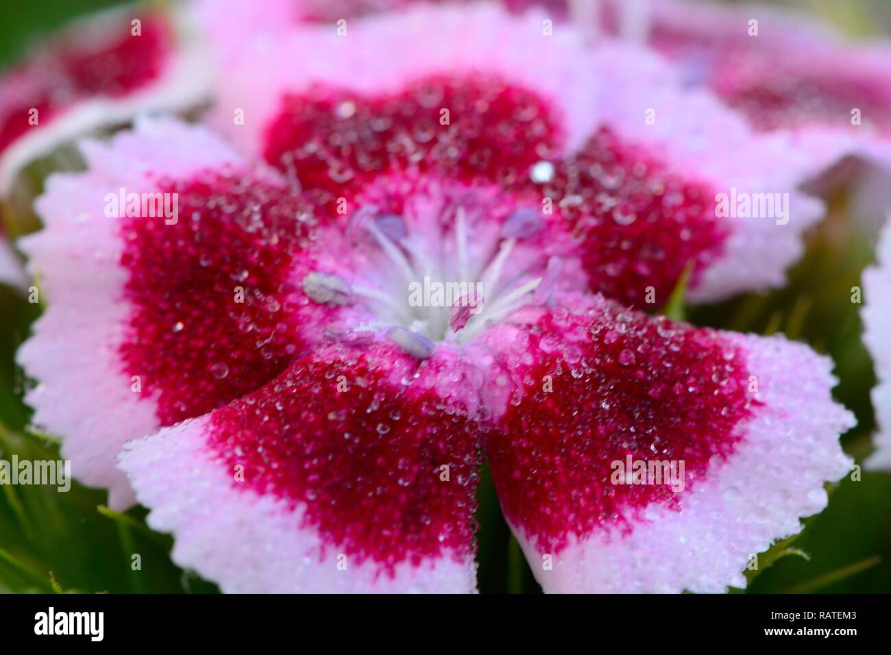 Macro shot of a pink and white sweet William (dianthus barbatus) flower covered in water droplets - Stock Image