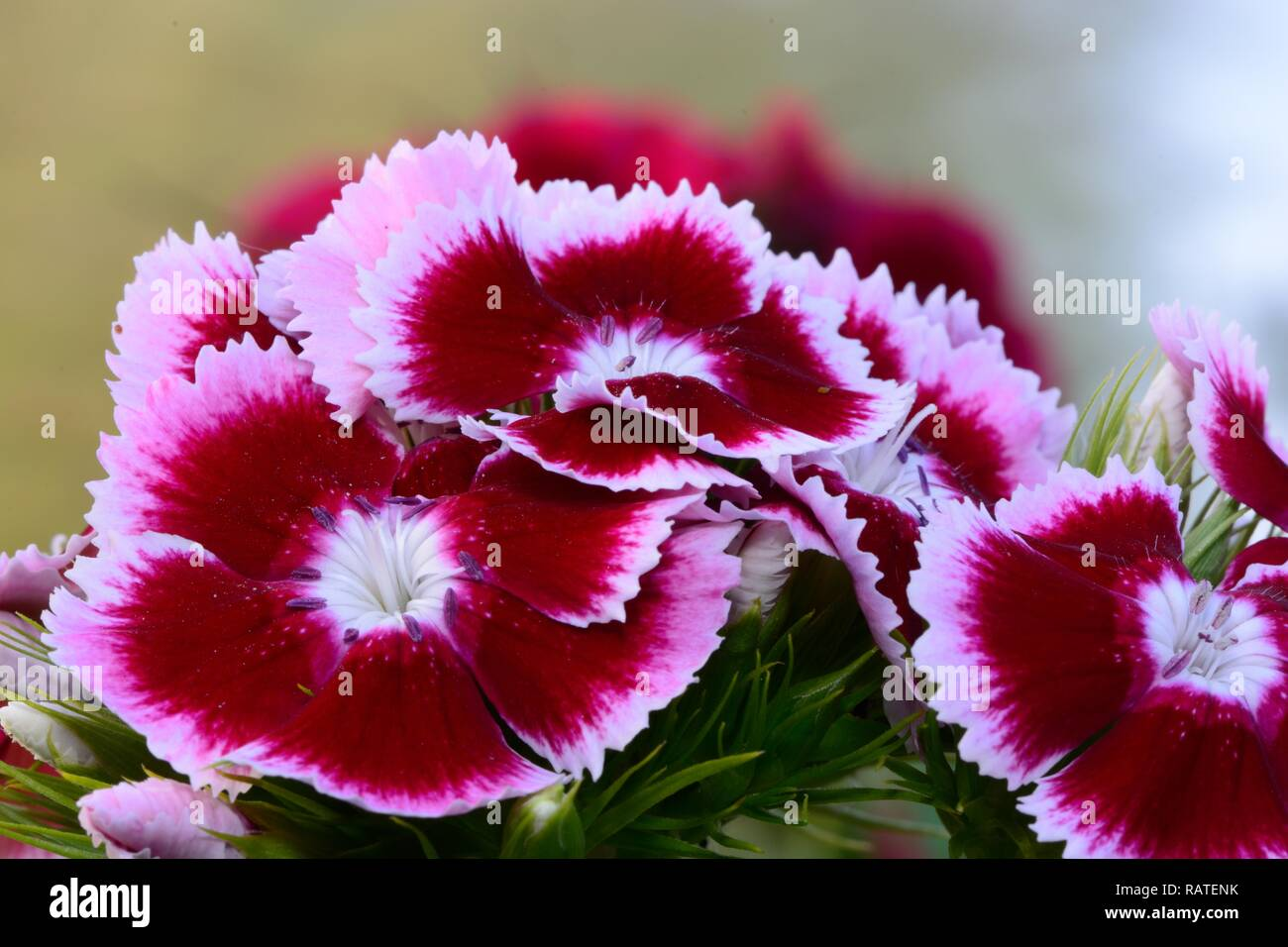 Close up of red and white sweet William flowers in bloom - Stock Image
