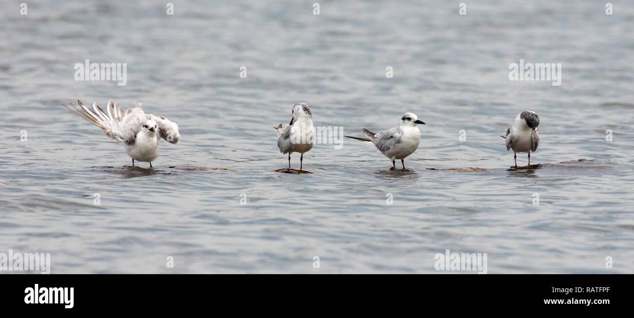 The white-winged tern, or white-winged black tern (Chlidonias leucopterus or Chlidonias leucoptera), near Mabamba swamp, Lake Victoria, Uganda - Stock Image