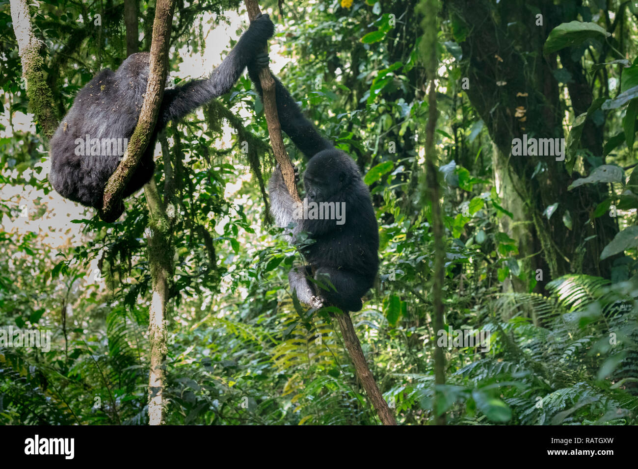 mountain gorillas descending from tall tree, Gorilla beringei beringei, Bwindi Impenetrable Forest National Park, Uganda - Stock Image