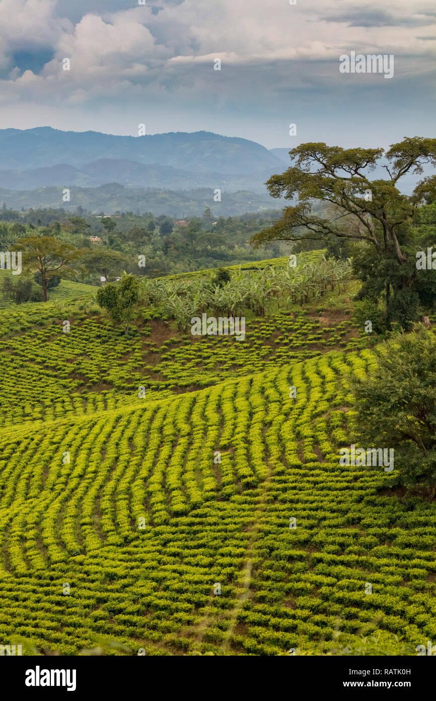 tea plantations near Bwindi, West Uganda, Africa Stock Photo