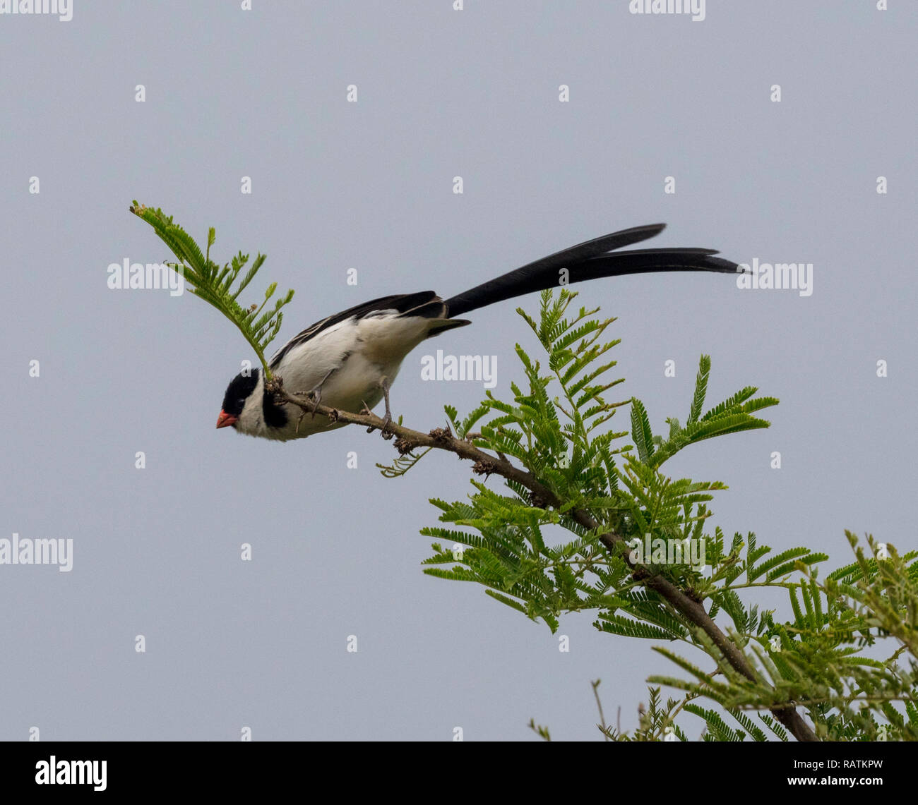 pin-tailed whydah (Vidua macroura), a small songbird with a conspicuous pennant-like tail, Queen Elizabeth National Park, Uganda, Africa - Stock Image