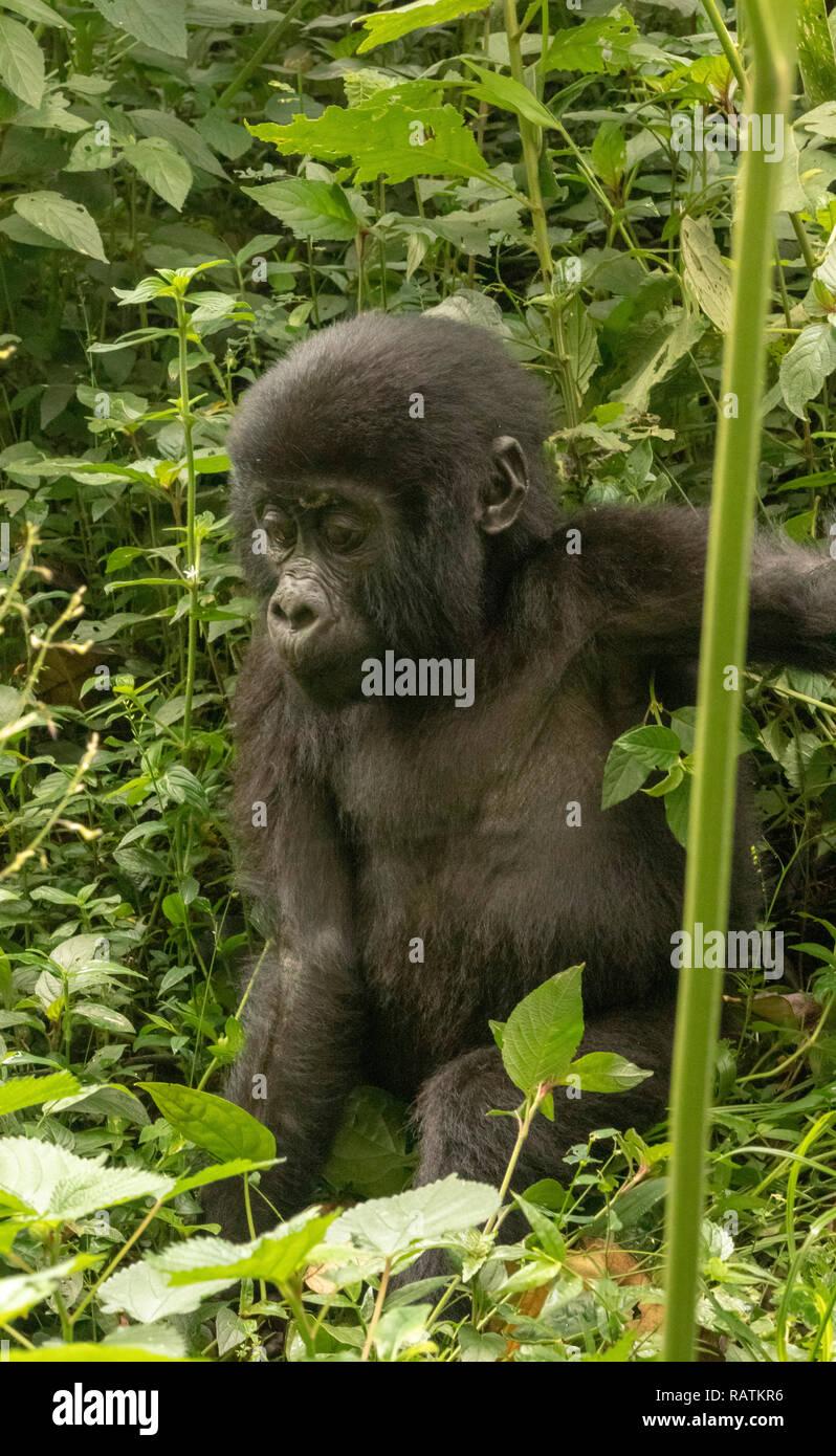 baby mountain gorilla, Gorilla beringei beringei, Bwindi Impenetrable Forest National Park, Uganda Stock Photo