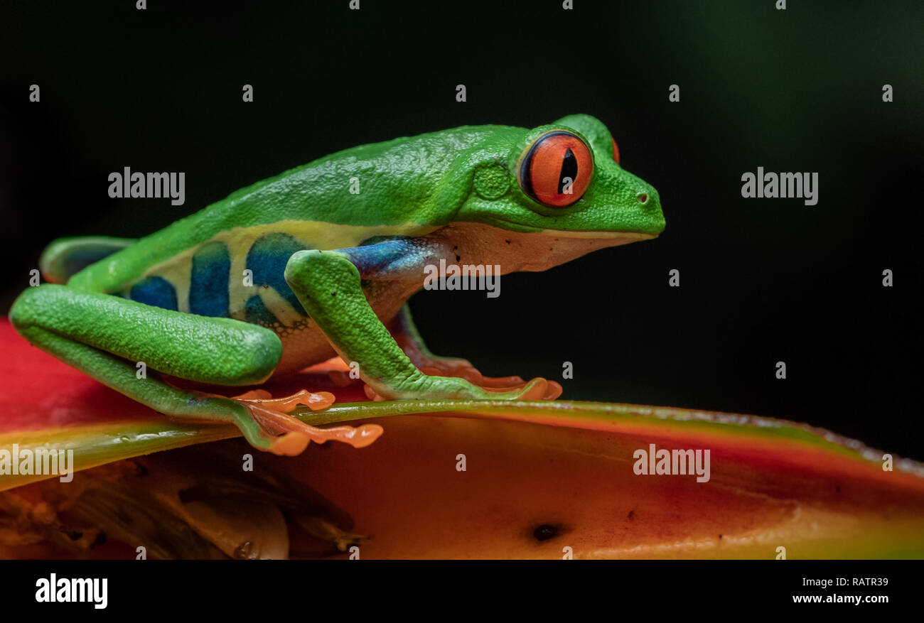 Red eyed tree frog in Costa Rica Stock Photo