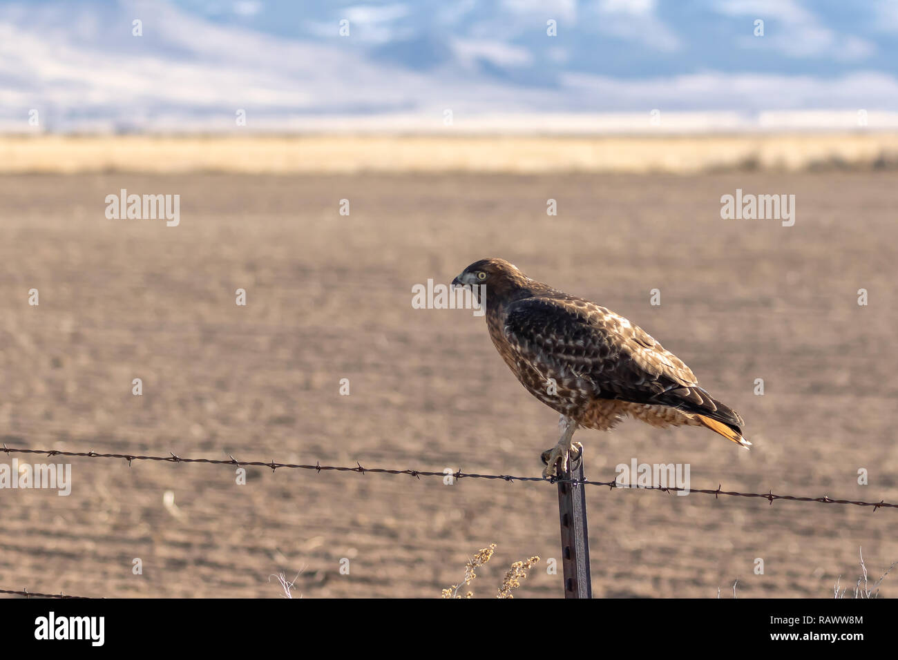 Hawk perched on a barbed wire fence post looking out over a field with copy space. - Stock Image