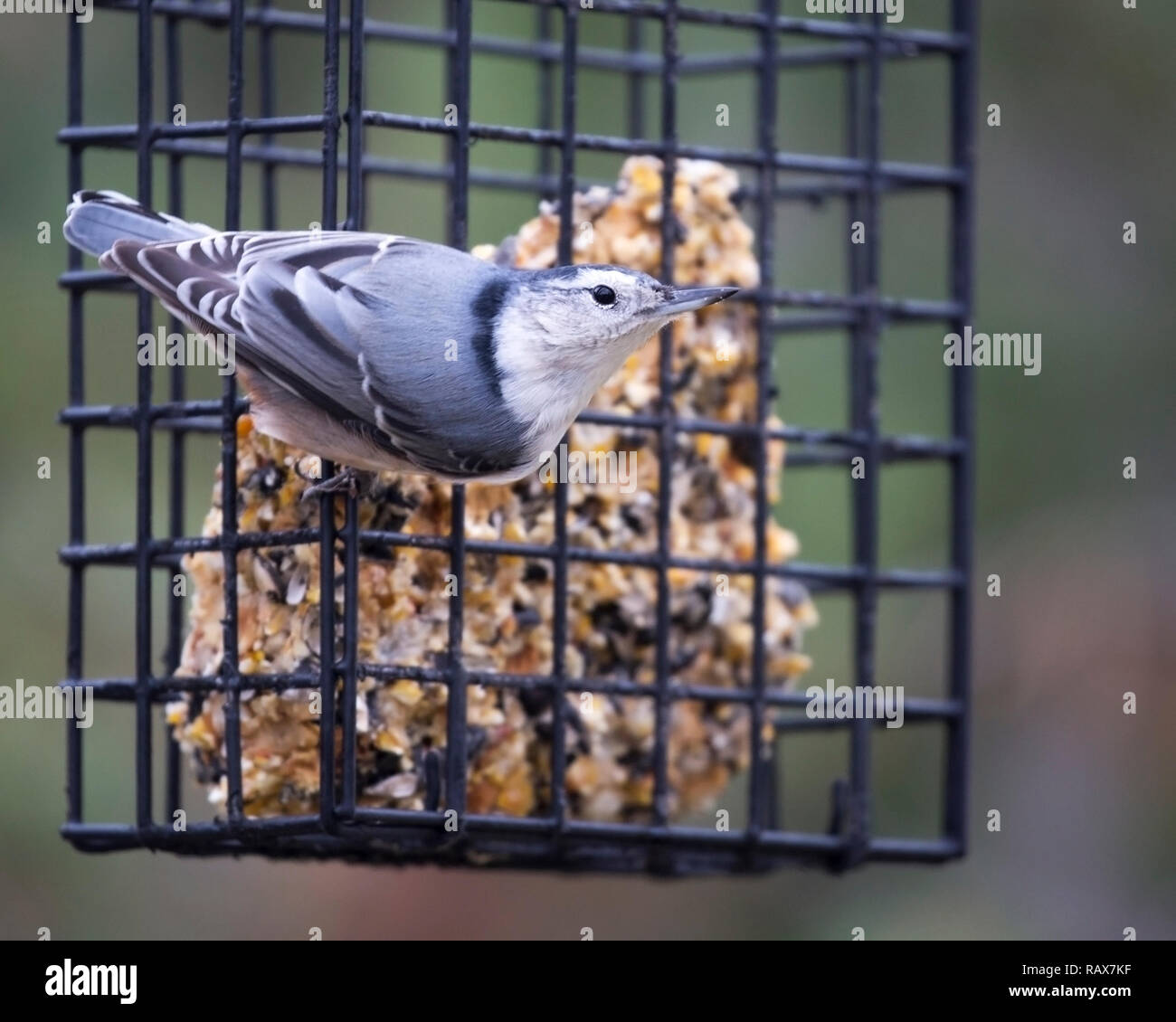 White breasted nuthatch feeding from backyard feeder (Sitta carolinensis) - Stock Image