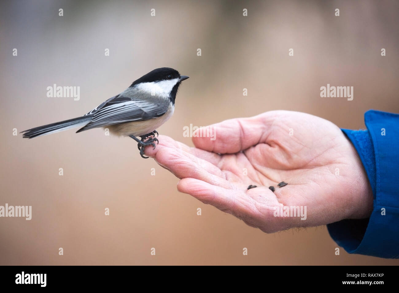 Black-capped chickadee (Poecile atricapillus) perched on man's hand with sunflower seeds - Stock Image