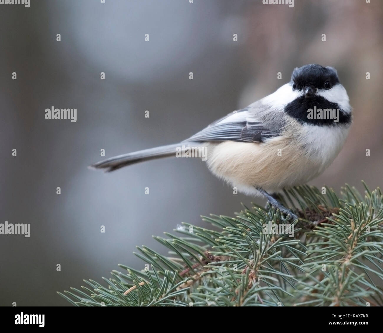 Black-capped chickadee (Poecile atricapillus) perched on tree  branch - Stock Image
