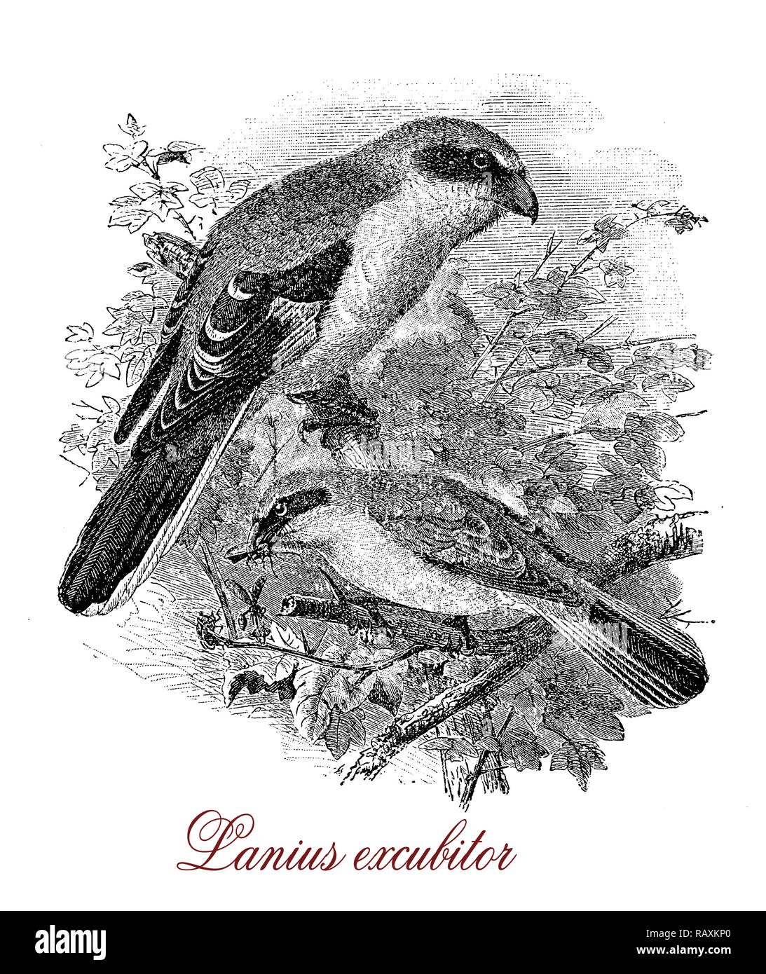 Vintage engraving of Great grey shrike, large songbird with grey pearl head and a black eye mask, carnivorous and rodents hunter - Stock Image