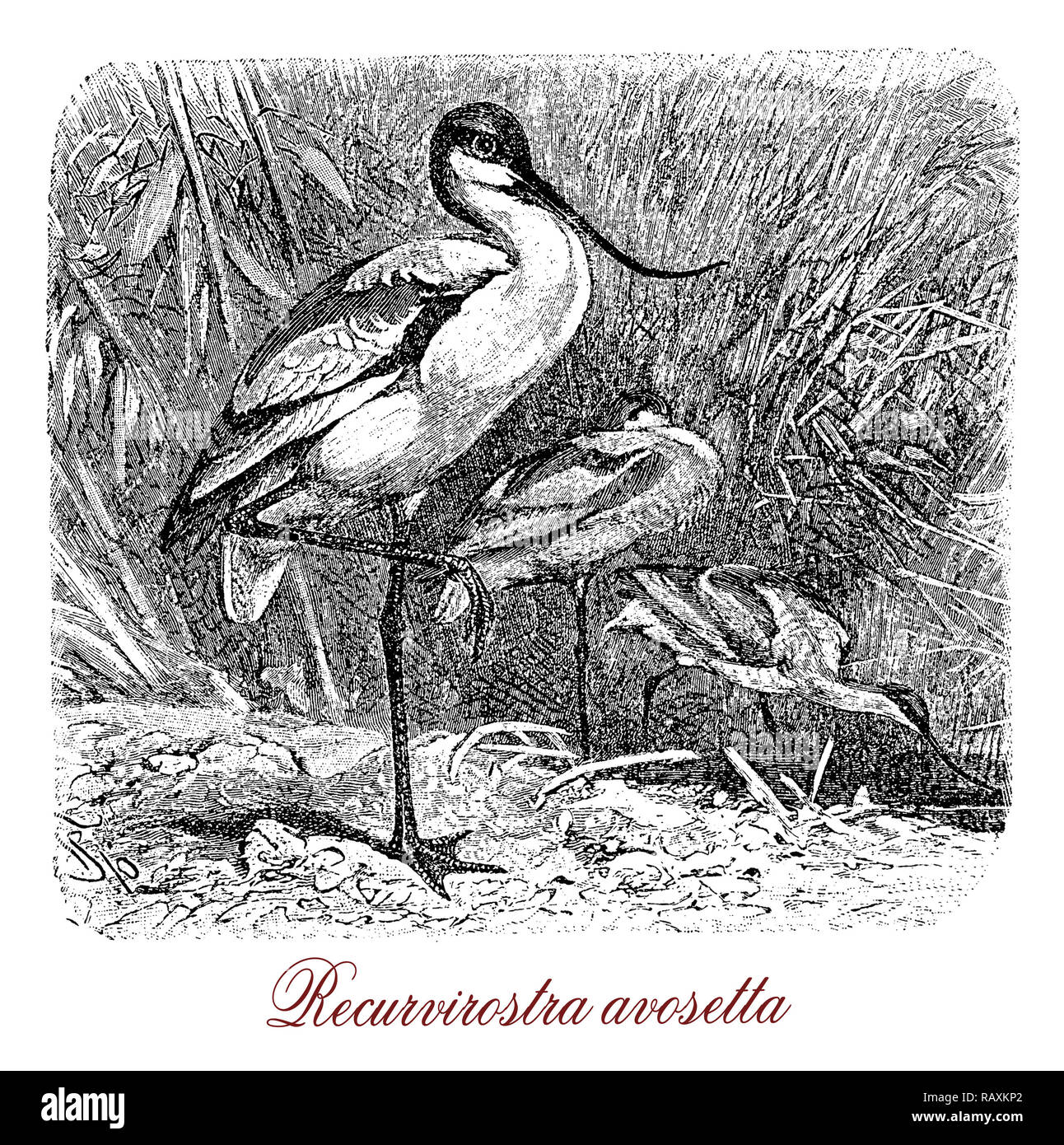 Vintage engraving of Pied avocet, large migratory black-capped shorebird with long upturned bill and long blue legs, eating insects and crustaceans - Stock Image