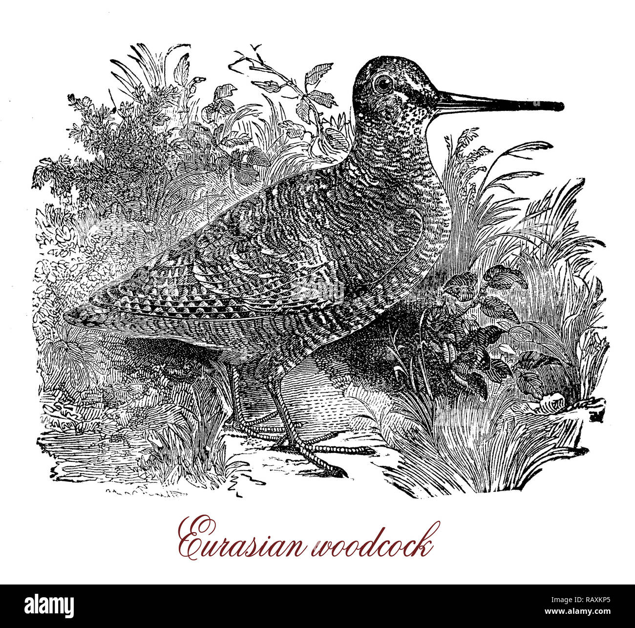Vintage engraving of Eurasian woodcock, small wading bird native to Eurasia with long sensitive bill and cryptic camouflage to suit with its habitat - Stock Image