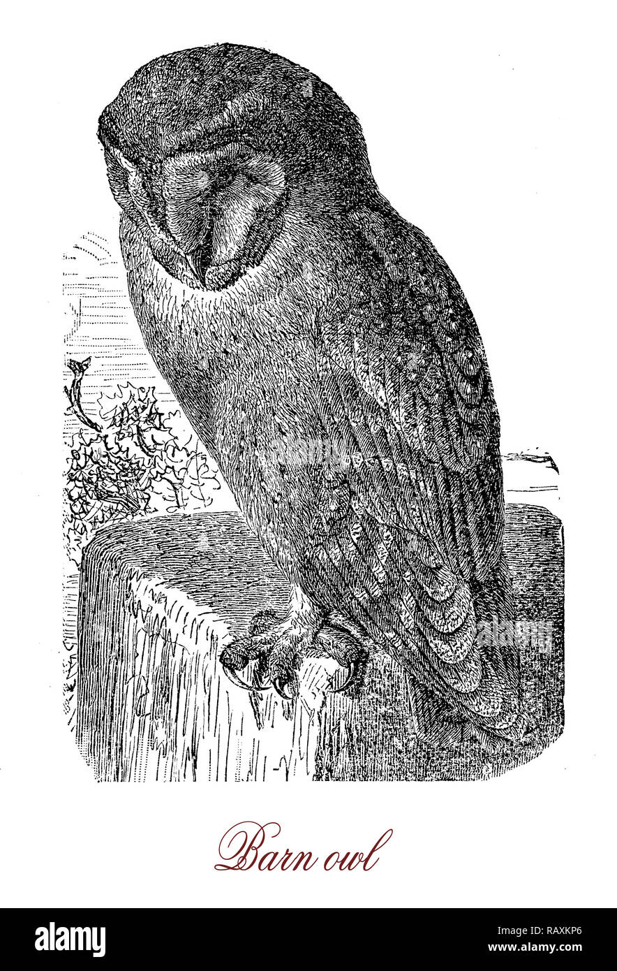 Vintage engraving of barn owl, nocturnal bird with heart shaped face and very acute hearing, specialized in hunting small mammals on the ground located by sound - Stock Image