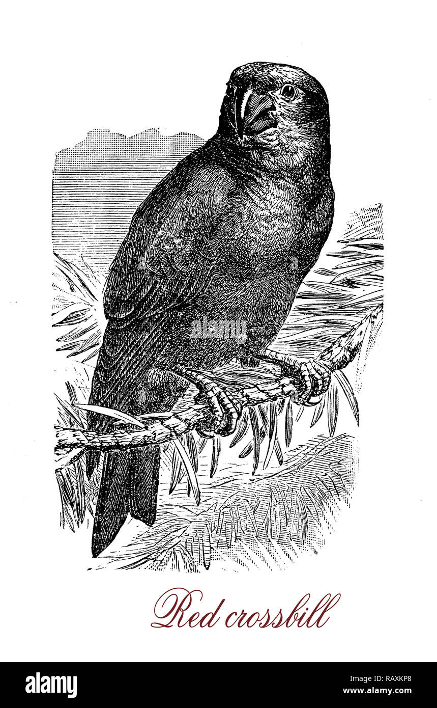 Vintage engraving of red crossbill,  small passerine bird in the finch family with distinctive mandibles, crossed at the tips, which enable them to extract seeds from conifer cones. The male plumage is red or orange. - Stock Image
