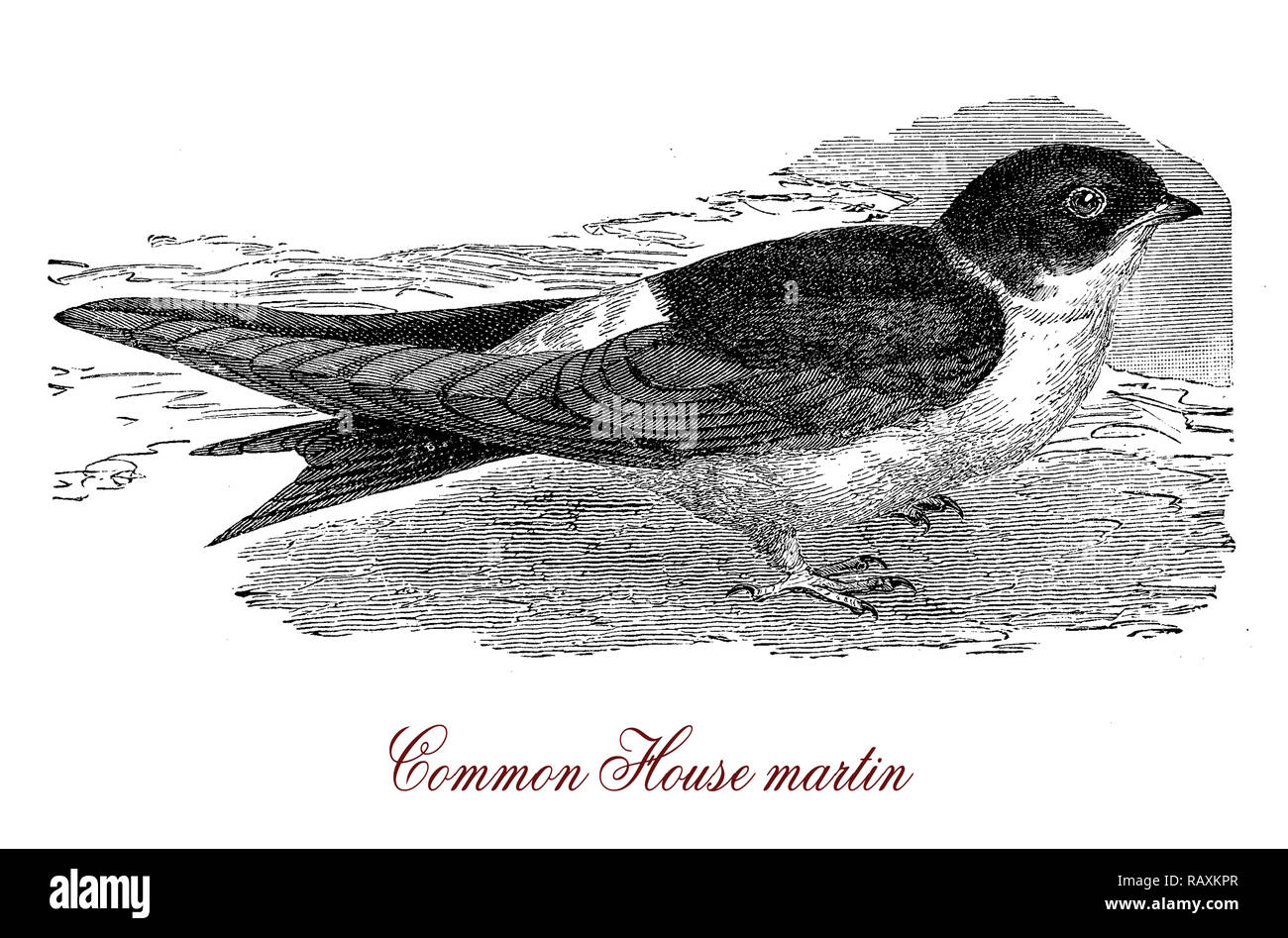 Vintage engraving of  common house martin,  migratory passerine bird of the swallow family with blue head. It feeds on insects caught in flight. - Stock Image