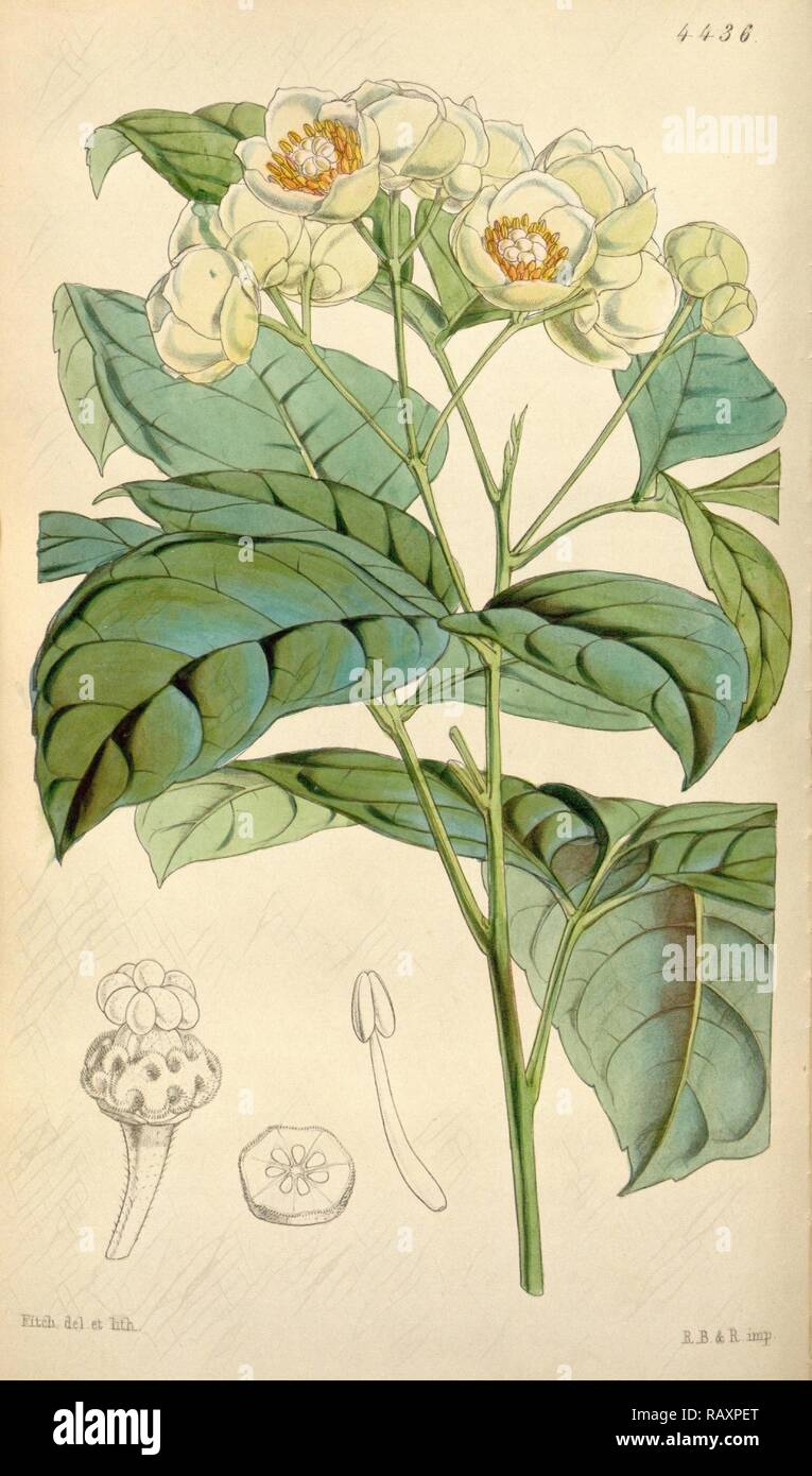 Botanical Print by Walter Hood Fitch 1817 – 1892, W.H. Fitch was an botanical illustrator and artist, born in Glasgow reimagined Stock Photo