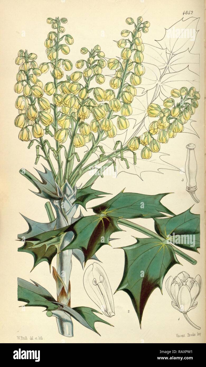 Botanical Print by Walter Hood Fitch 1817 – 1892, botanical illustrator and artist, born in Glasgow, Scotland, UK reimagined Stock Photo
