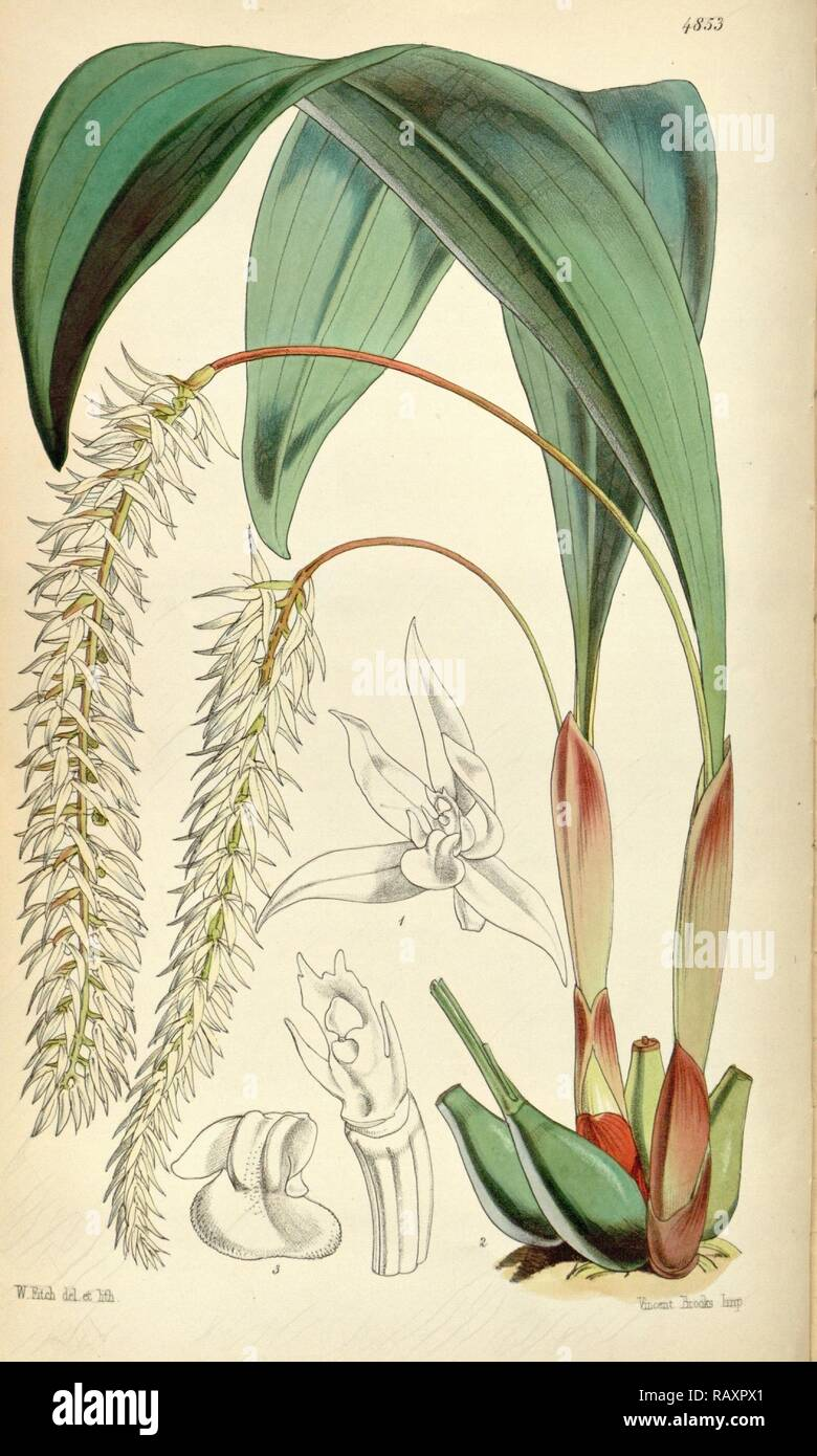 Botanical Print by Walter Hood Fitch 1817 – 1892, botanical illustrator and artist, born in Glasgow, Scotland, UK reimagined - Stock Image
