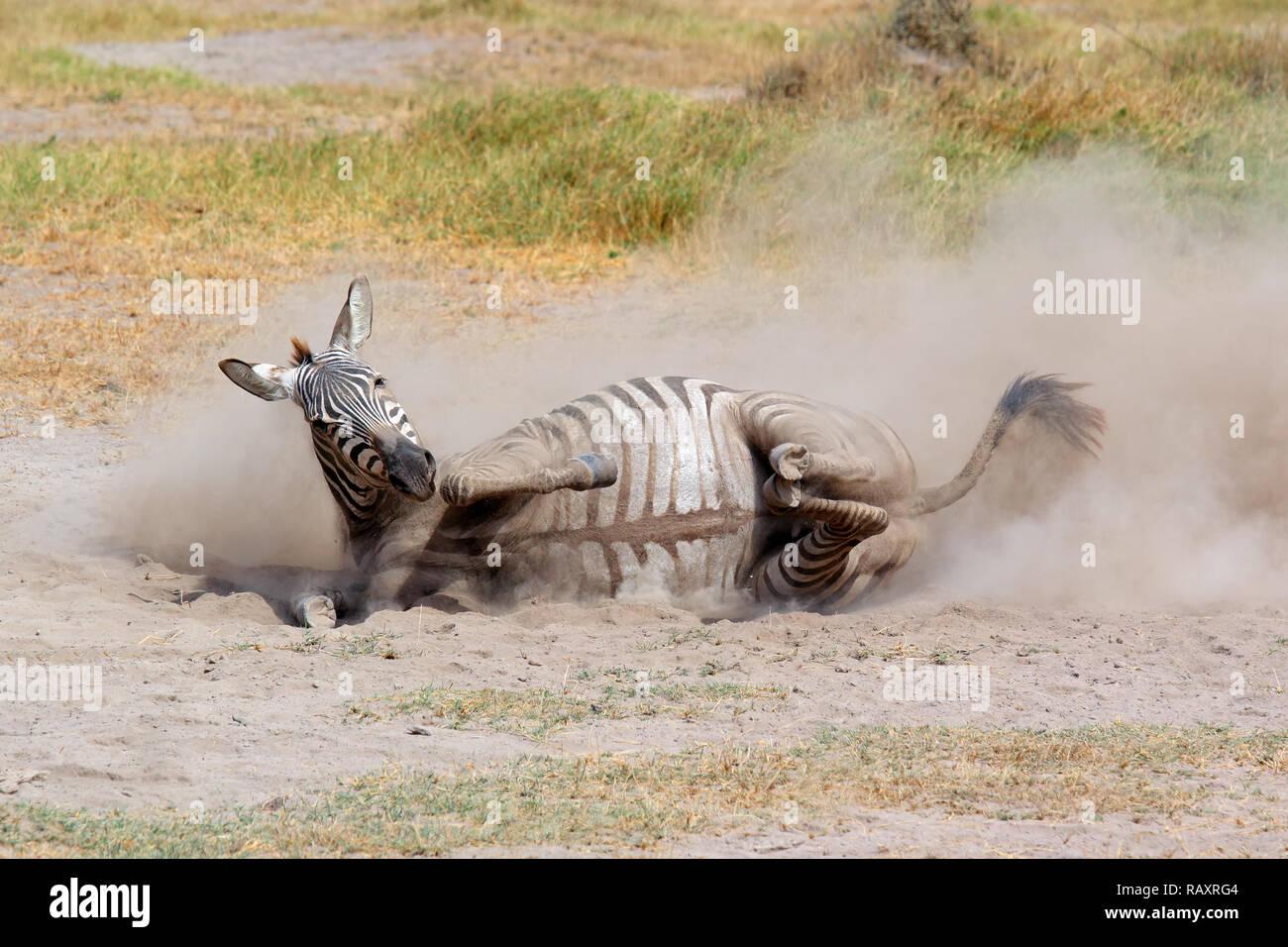 A plains zebra (Equus burchelli) rolling in dust, Amboseli National Park, Kenya - Stock Image