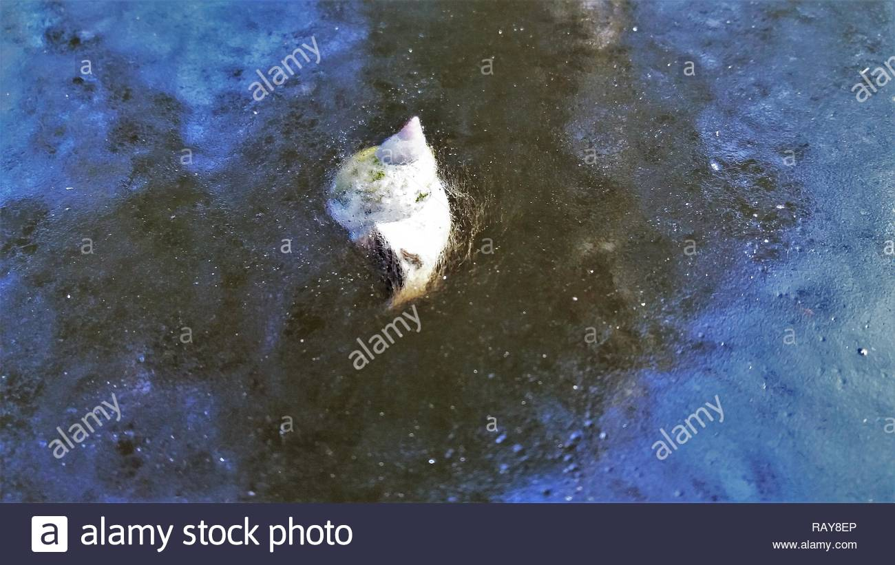 snail cought in ice frozen pond Stock Photo