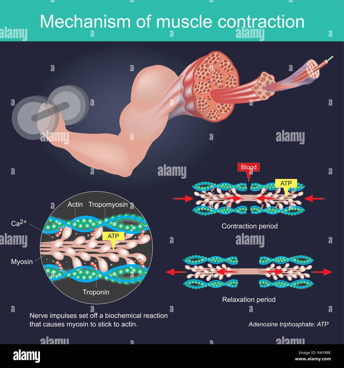 The muscle contraction as a result of Nerve impulses set off a biochemical reaction that causes myosin to stick to actin. Human body infographic. Stock Vector