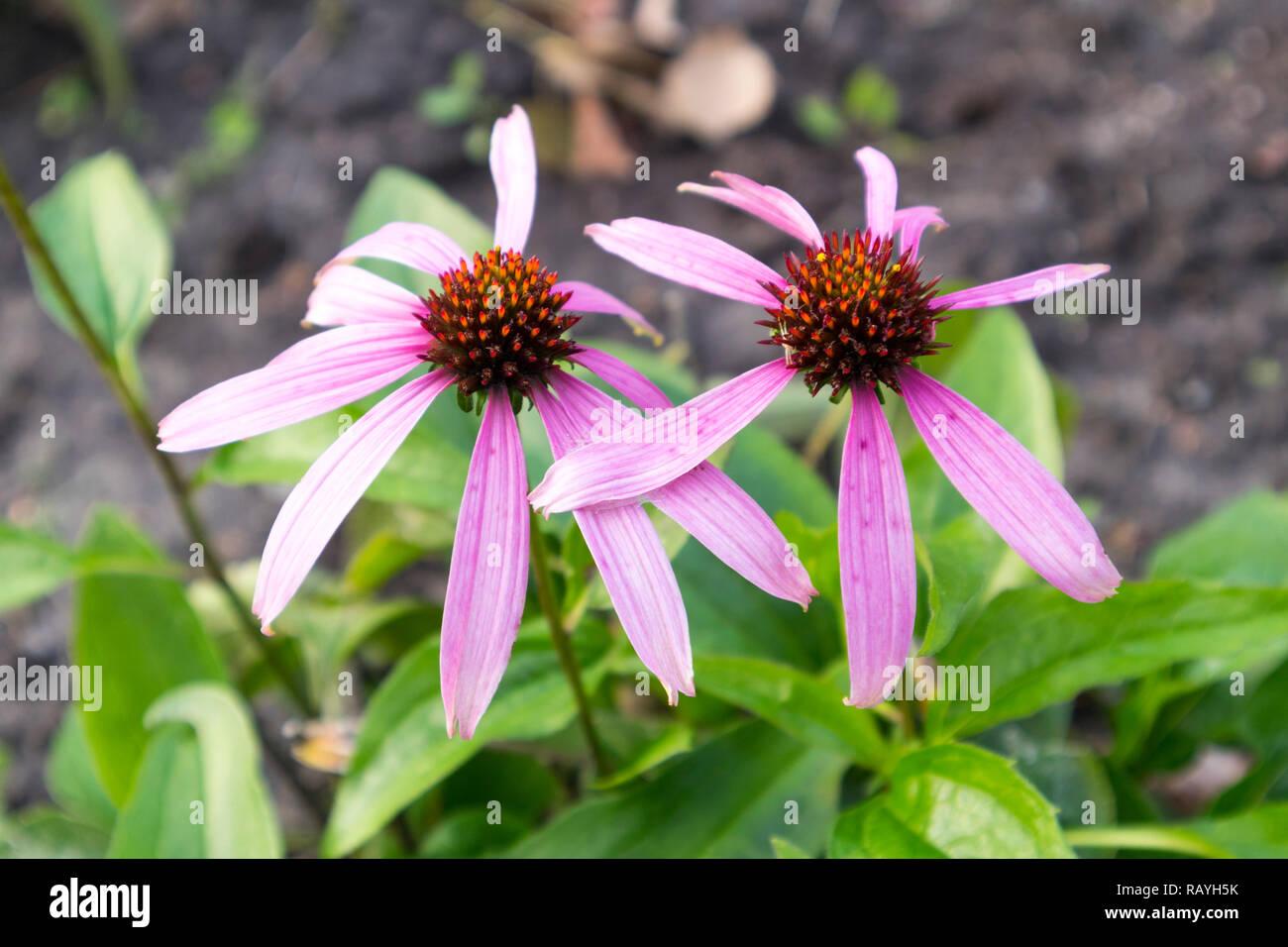 Echinacea purpurea two late flowers in autumn day. - Stock Image