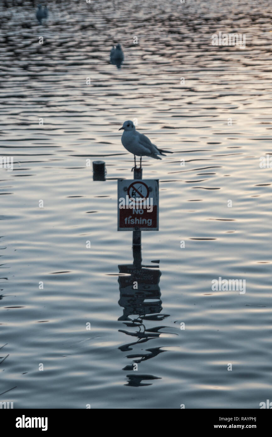 Black Headed Sea Gull single close up perched on No Fishing sign in Lake with reflection in the water with rippled textured effect to water surafce Stock Photo