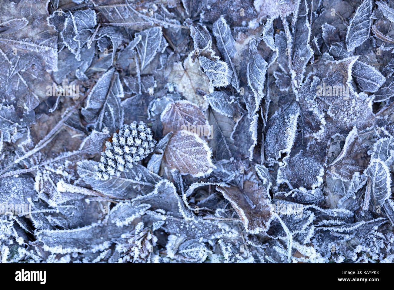 background of dried frozen leaves on the forest floor at sunrise on a winter morning, photo with blue and brown tones. - Stock Image