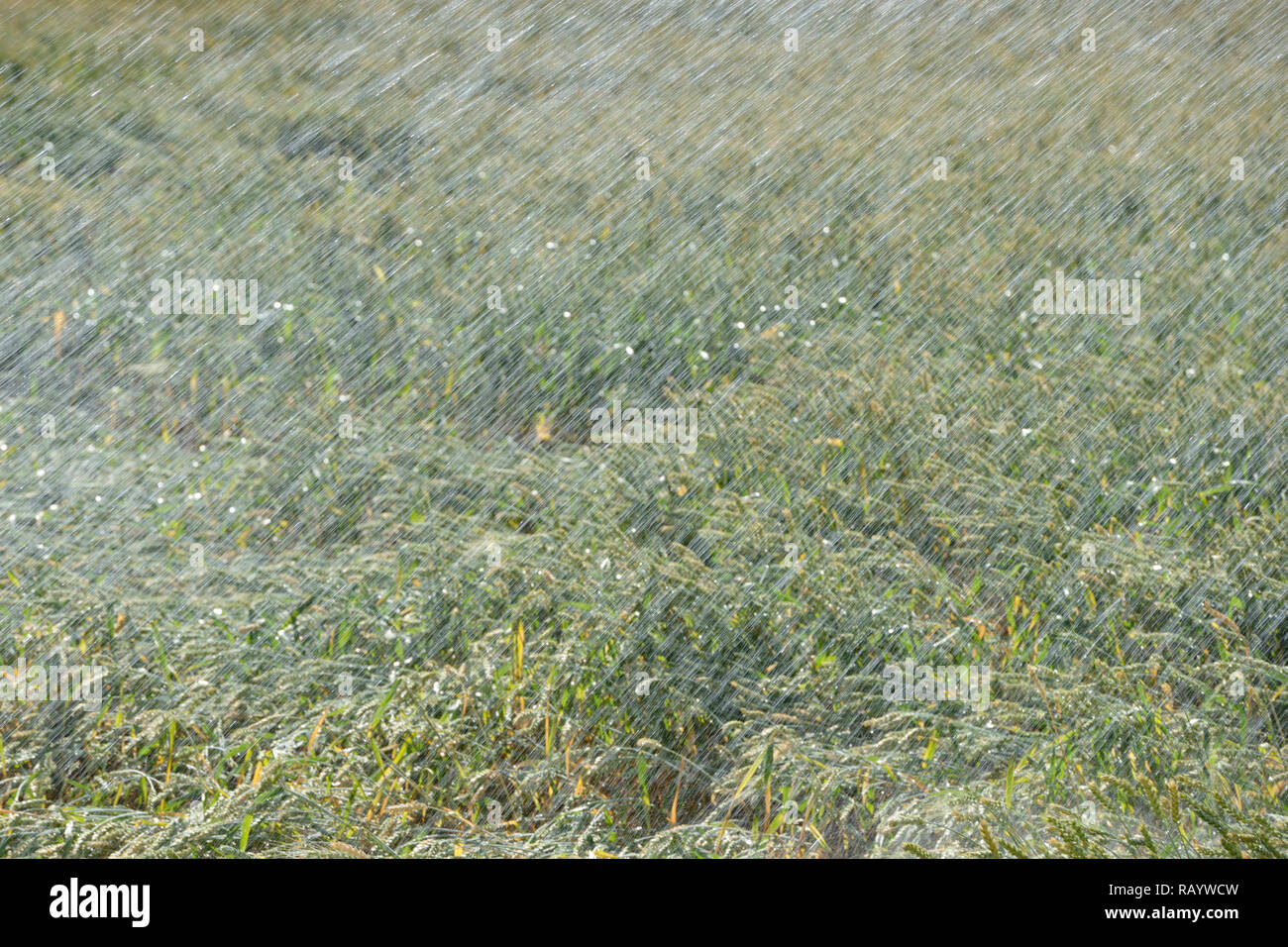 Sprinkler irrigation machine spraying water over farmland during a drought summer, watering a wheat field. - Stock Image