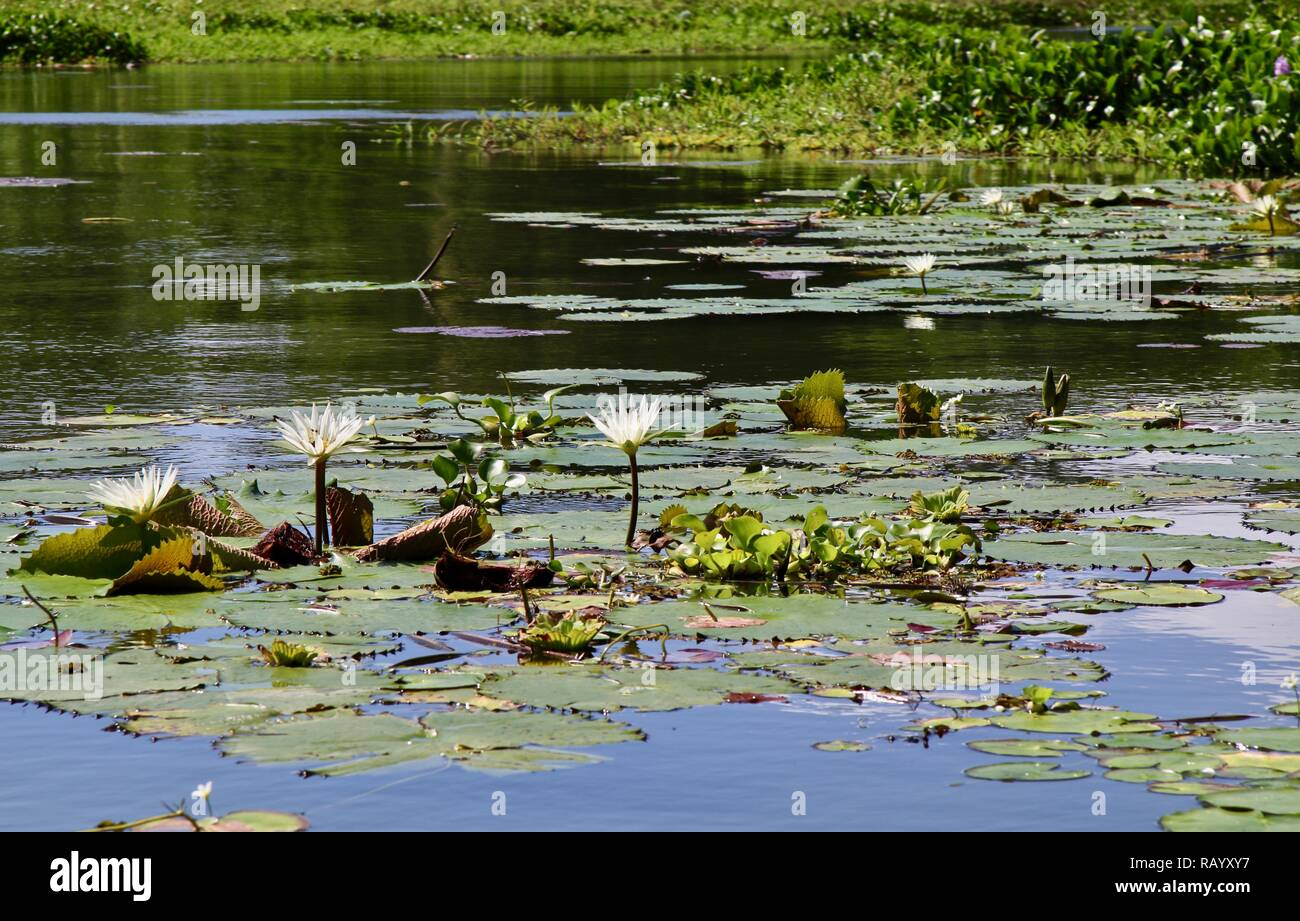 White water lilies floating on a lake in Nicaragua - Stock Image