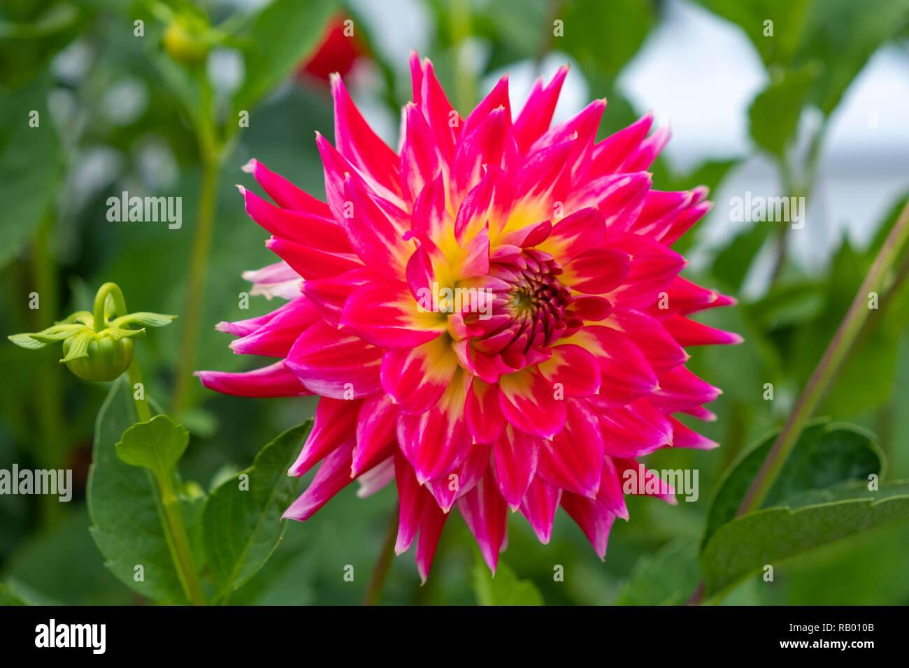 Dahlien in einem Garten Stock Photo
