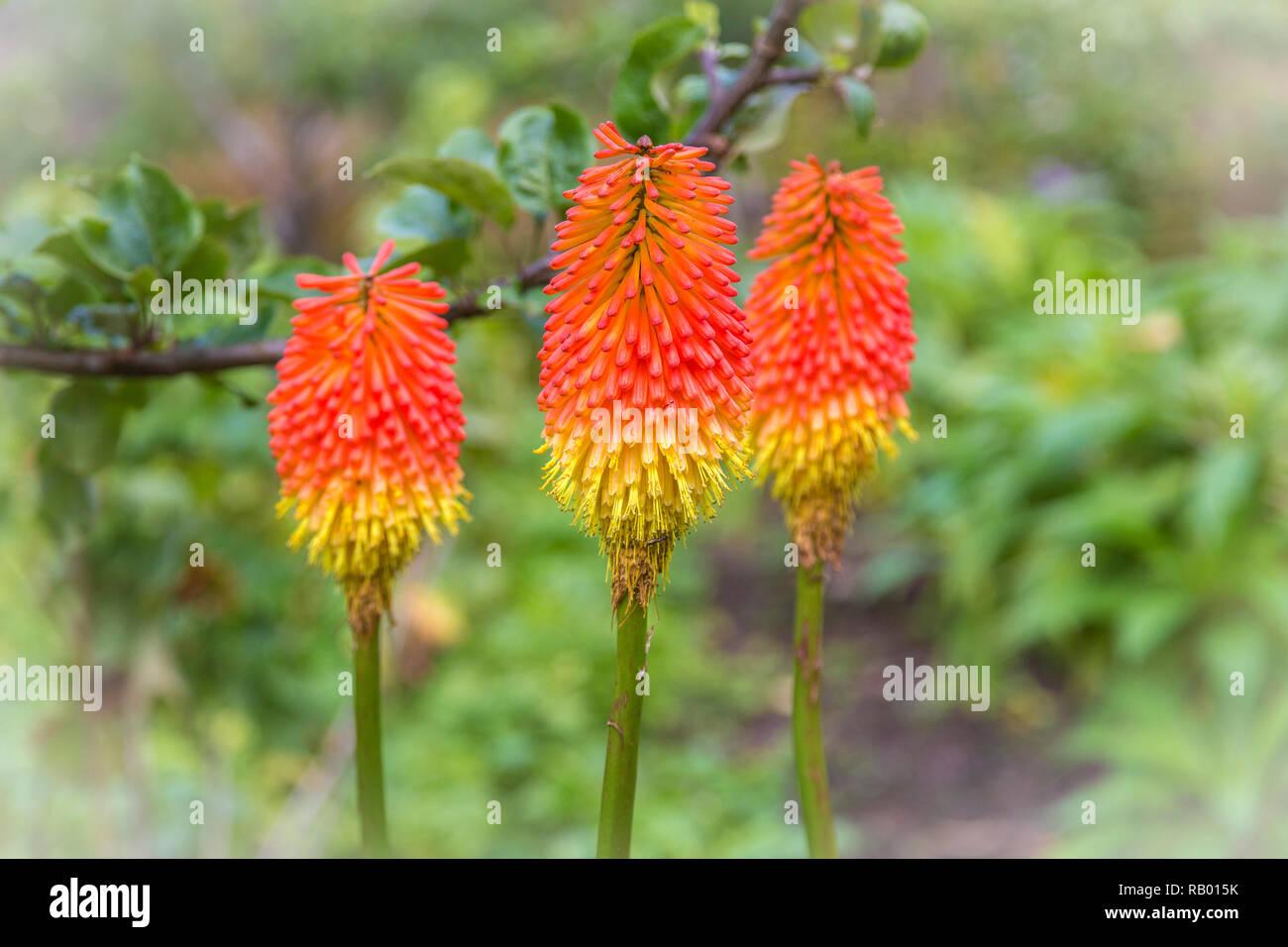 Fackellilie in einem irischen Garten - Stock Image
