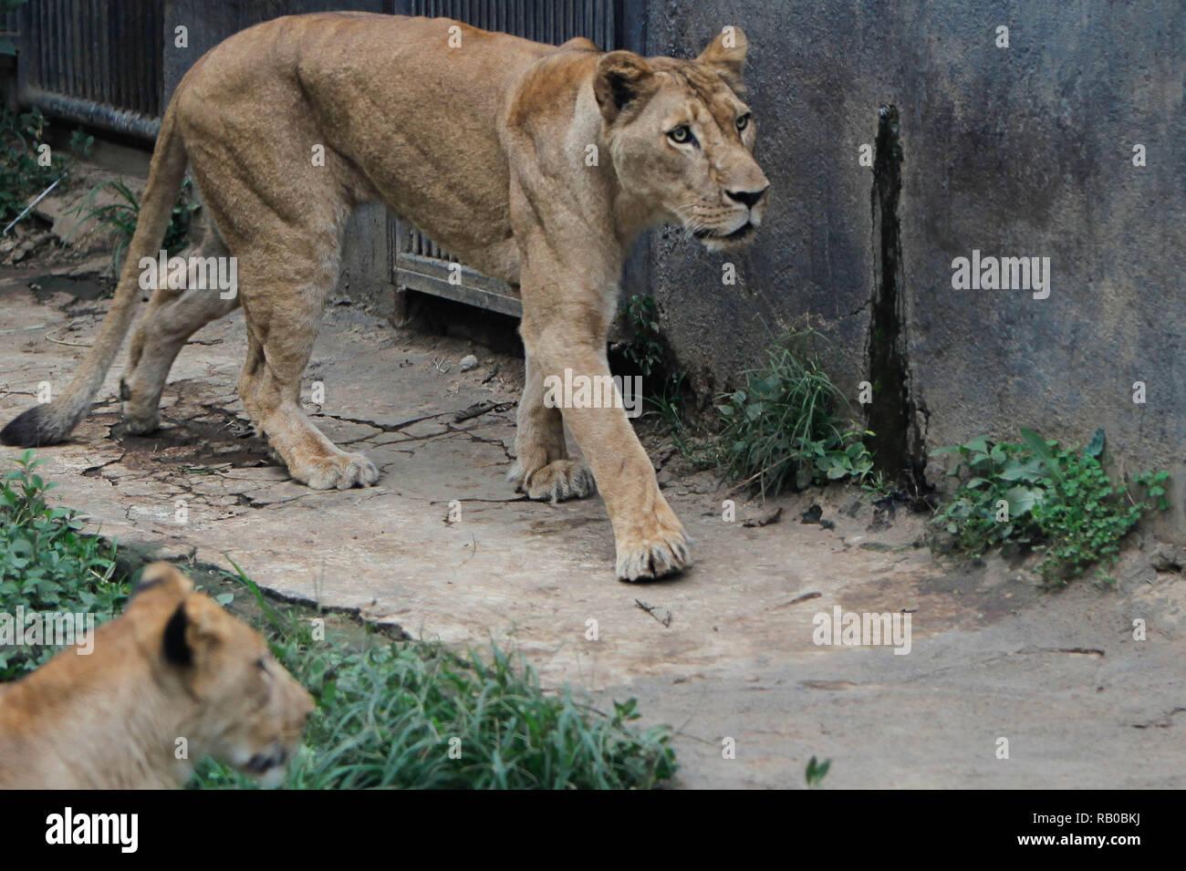 A Lioness Is Seen In The Batu Secret Zoo Modern Tourist Attractions