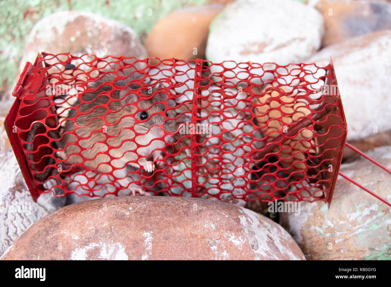 Mouse or rat trapped in a red cage, rat inside the mousetrap cage lying on stone - Stock Image