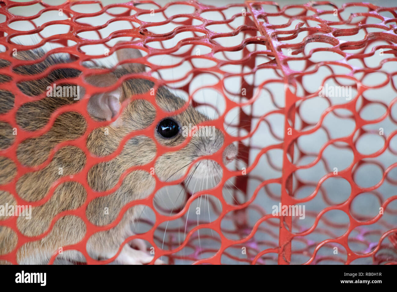 mouse or rat trapped in a red cage - Stock Image