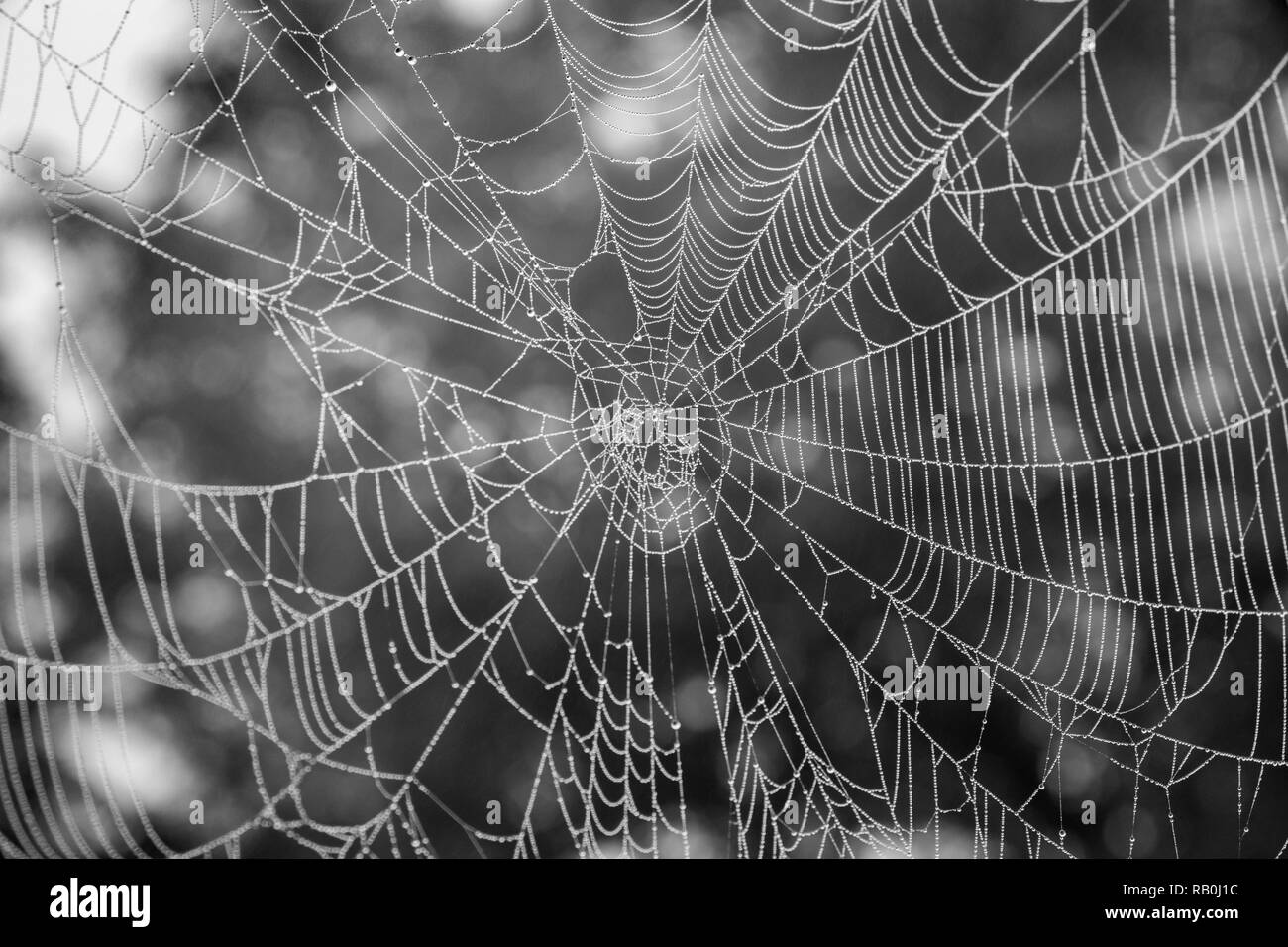 Spider web with fog water drops, image taken in earlier morning - Stock Image
