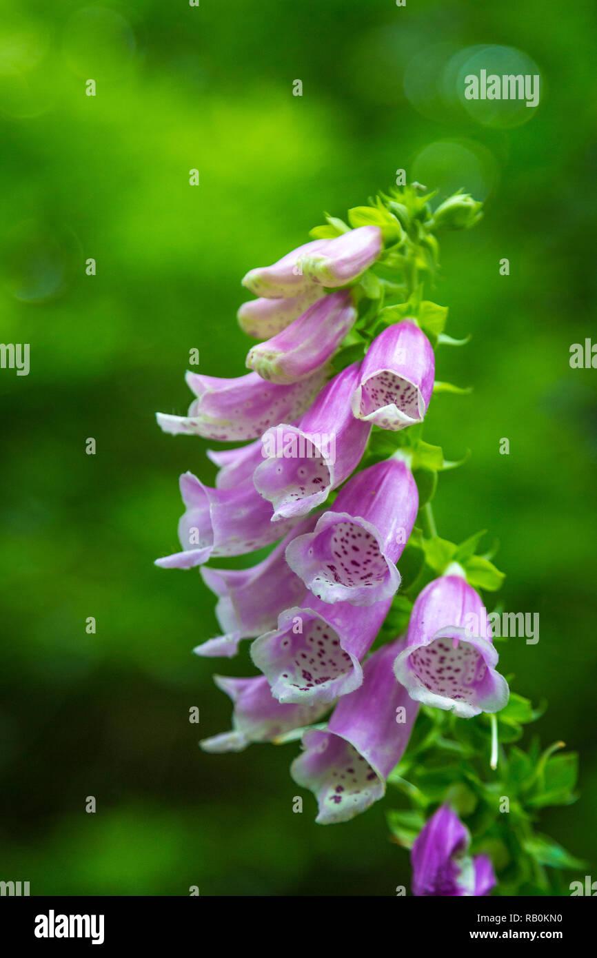 Fingerhut in einem irischen Garten - Stock Image