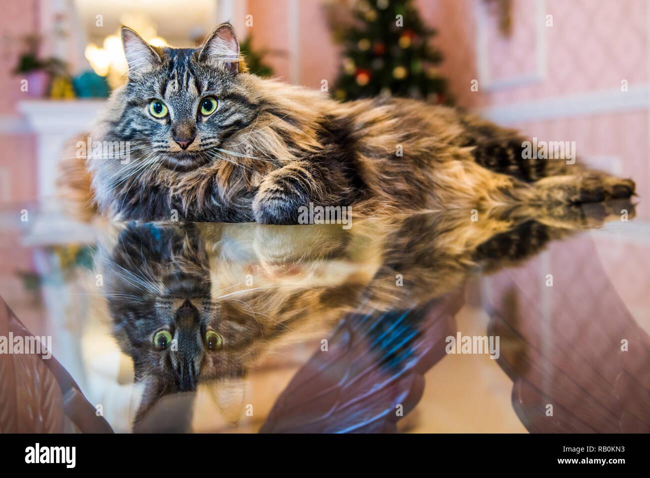 Norwegian forest fluffy cat portrait inside interior Stock Photo