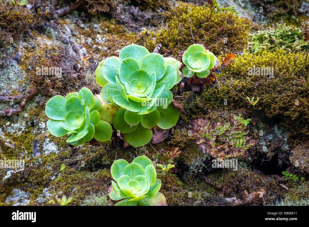 Hauswurzen auf Teneriffa, Spanien - Stock Image