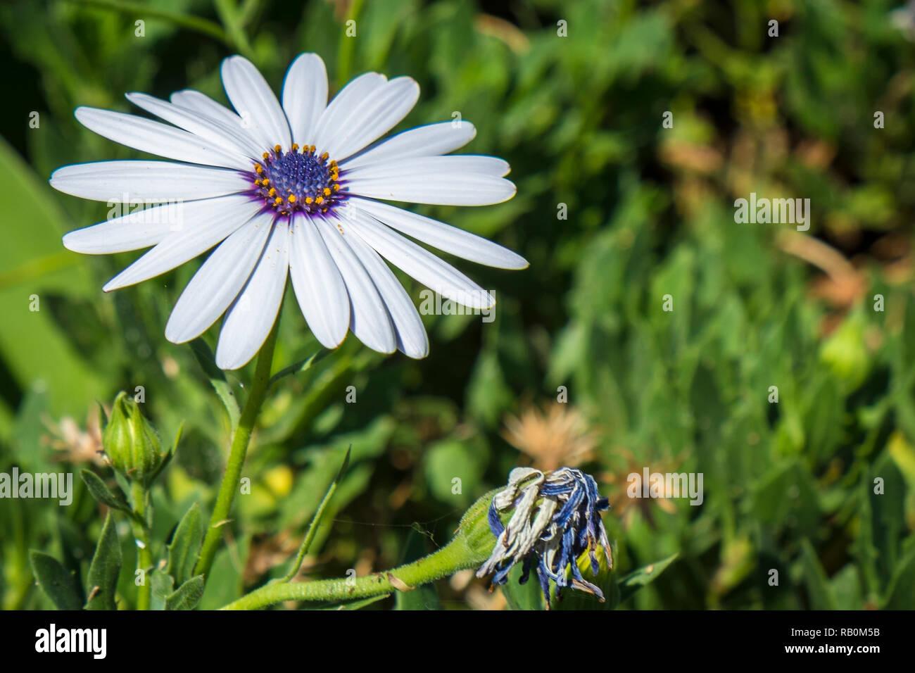 blauweißes Kapkörbchen - Stock Image