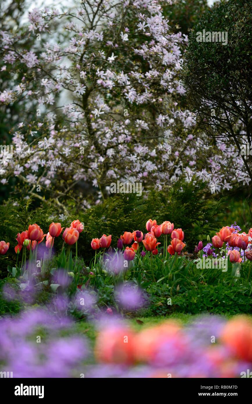 magnolia stellata,diffuse,narrow depth of focus,shallow depth of field,tulipa menton,tulip,tulips,orange,red,peach,flower,flowers,background,spring,ga - Stock Image
