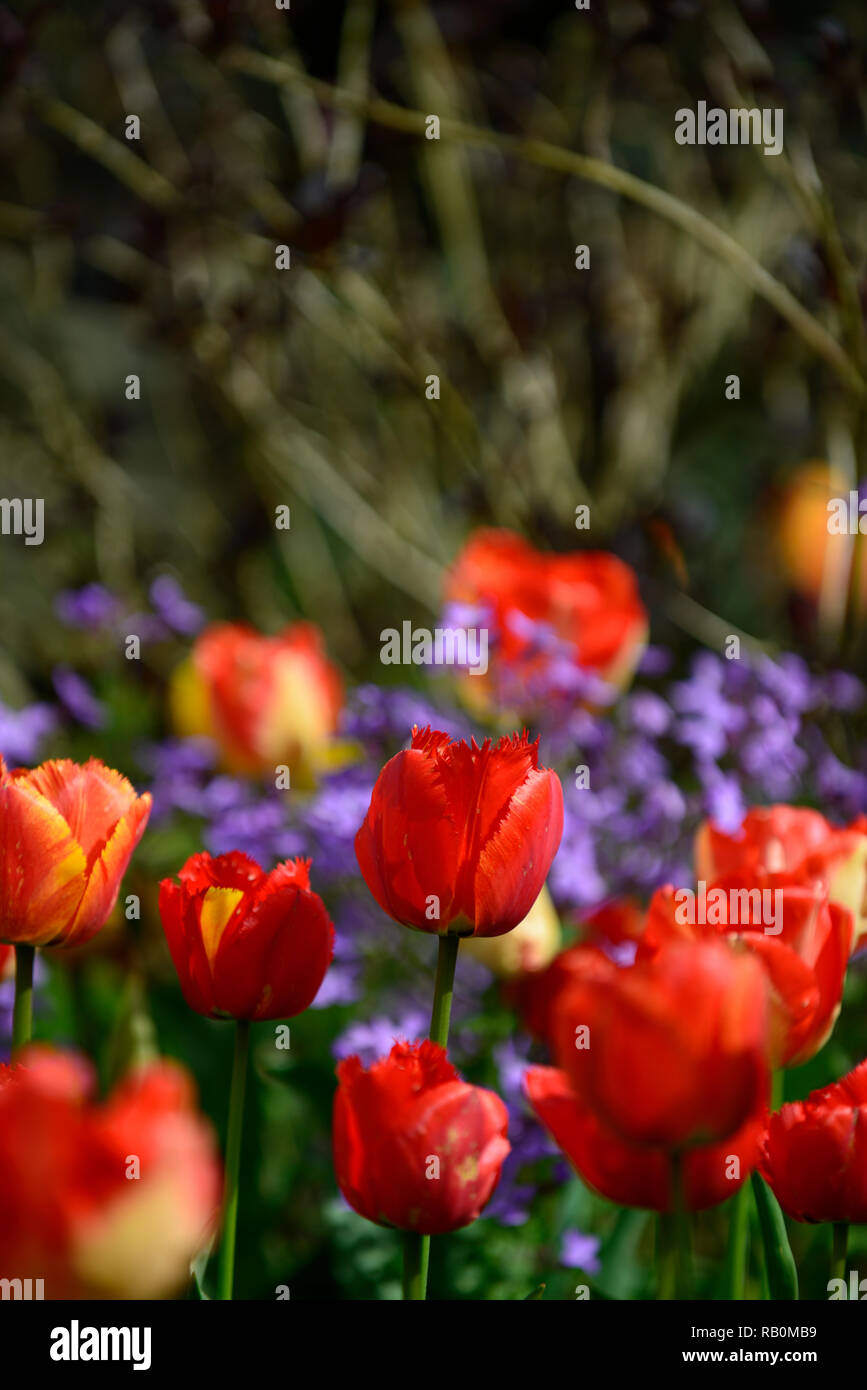 tulips,tulipa,orange,red,flower,flowers,blue background,diffuse,narrow depth of focus,shallow depth of field,spring,garden,gardens,RM Floral - Stock Image