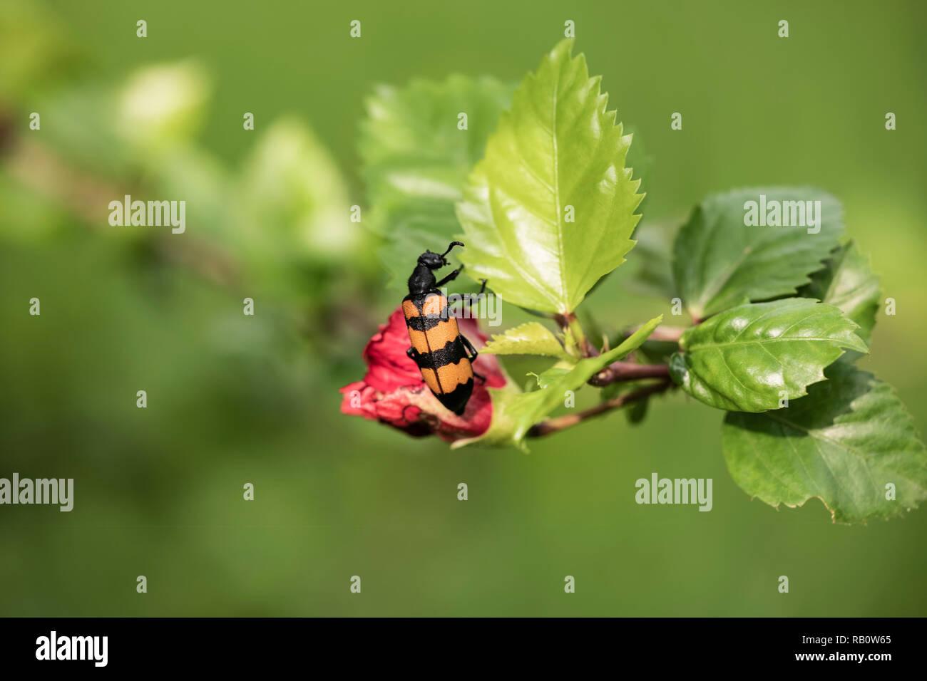 Hibiscus Beetle Stock Photos Hibiscus Beetle Stock Images Alamy