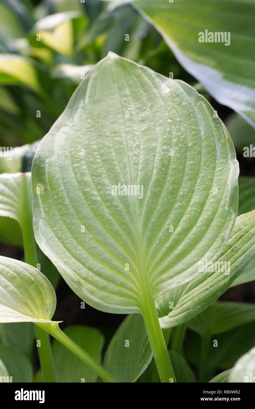 Hosta 'Cumulonimbus' leaves. - Stock Image