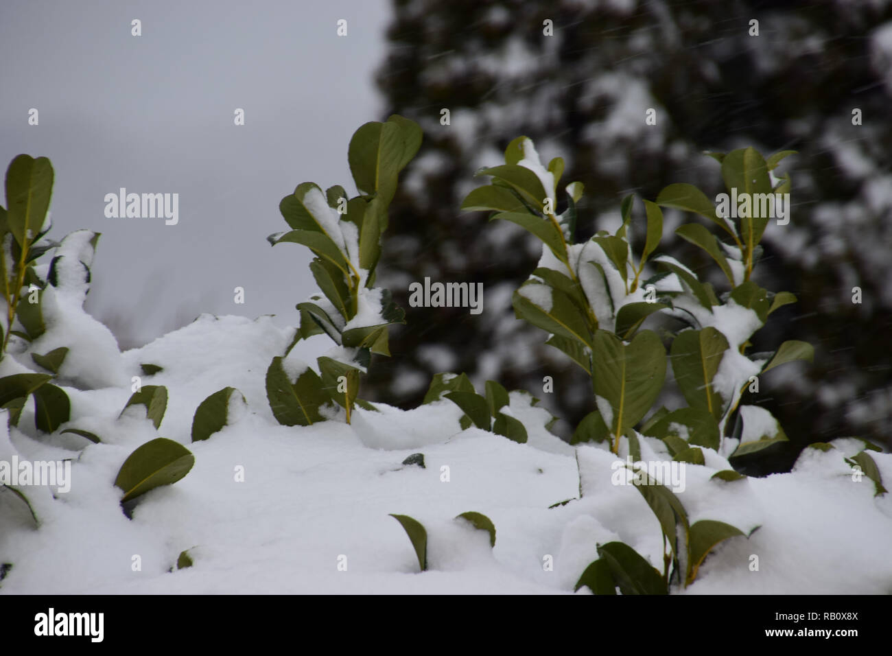 prunus laurocerasus or english laurel or cherry laurel in heave snow, common laurel covered with snow in front of gray sky - Stock Image