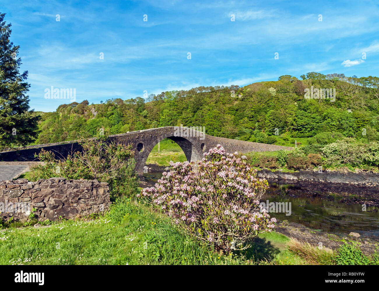 Rhododendron flowers in front of the Clachan Bridge (Atlantic Bridge) linking the Scottish mainland with the Isle of Seil south of Oban Scotland UK - Stock Image